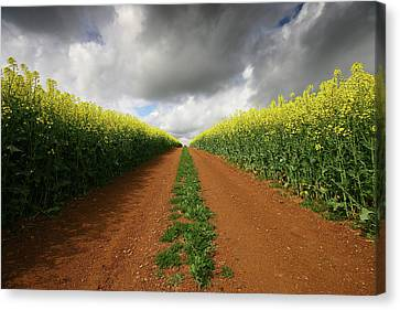 Dirt Track Through Red Soil In A Rapeseed Flower Field Canvas Print by Mark Stokes