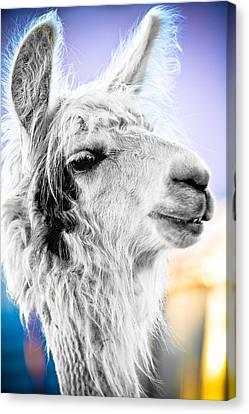 Dirtbag Llama Canvas Print by TC Morgan