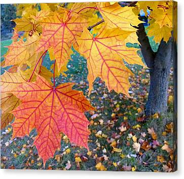 Distinctive Maple Leaves Canvas Print by Will Borden