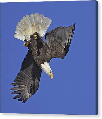 Diving Eagle Canvas Print by Tim Grams