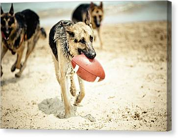 Dog Holding Ball In Mouth Canvas Print by R. Brandon Harris