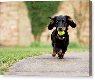 Dog With Ball Canvas Print by Ian Payne