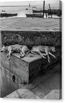 Dogs Of Varanasi Canvas Print by Kobi Amiel