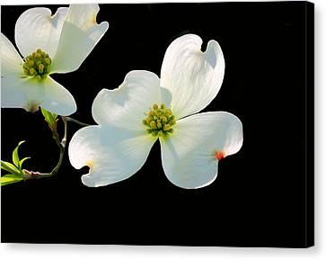 Dogwood Blossoms Canvas Print by Kristin Elmquist