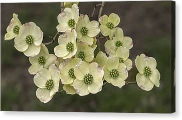 Dogwood Dance In White Canvas Print by Don Spenner