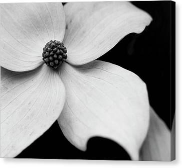 Dogwood Flower #2 Canvas Print by Gary Horsfall