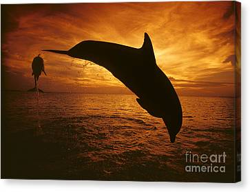 Dolphins And Sunset Canvas Print by Dave Fleetham - Printscapes