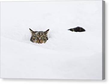 Domestic Cat Felis Catus In Deep Snow Canvas Print by Konrad Wothe