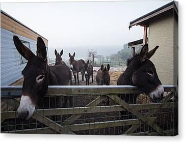 Donkeys Canvas Print by Dawn OConnor