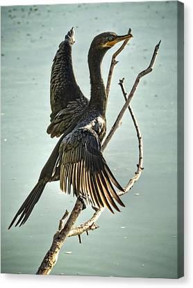 Double Crested Cormorant  Canvas Print by Saija  Lehtonen