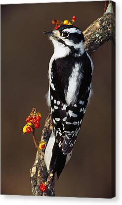 Downy Woodpecker On Tree Branch Canvas Print by Panoramic Images