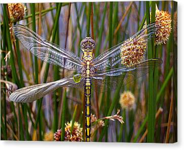 Dragonfly Canvas Print by Alison Lee  Cousland