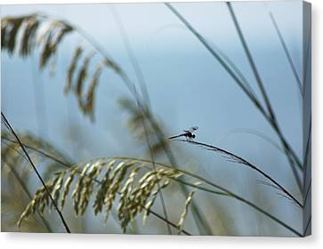 Dragonfly On Sea Oats Canvas Print by Robert  Suits Jr