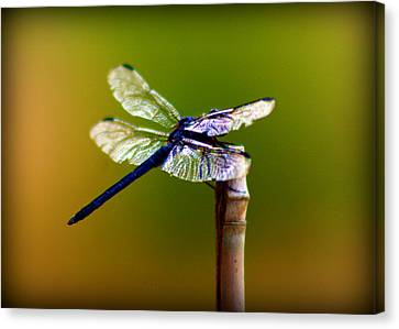 Dragonfly Canvas Print by Susie Weaver