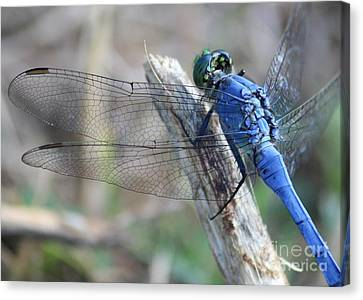 Dragonfly Wing Detail Canvas Print by Carol Groenen