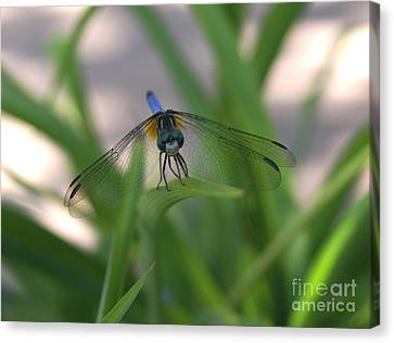 Dragonfly Wit An Attitude Canvas Print by Debbie May