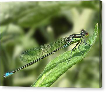 Dragonfly1 Canvas Print by Svetlana Sewell