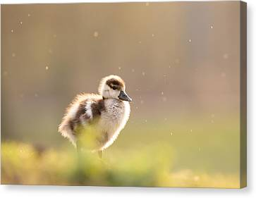 Dreamy Duckling Canvas Print by Roeselien Raimond
