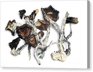 Dried Psilocybe Cubensis Canvas Print by Ford McCann