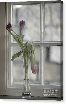 Droopy Tulip  Canvas Print by Rob Hawkins