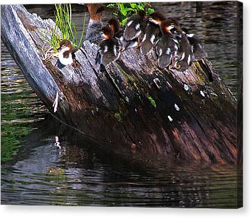 Duckling Disguise Canvas Print by Vijay Sharon Govender