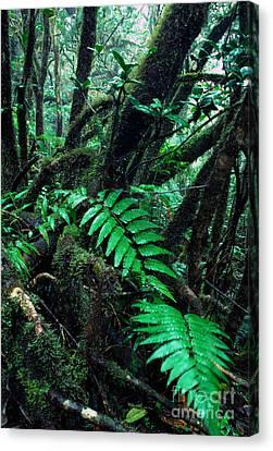 Dwarf Forest El Yunque Canvas Print by Thomas R Fletcher