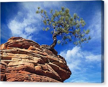 Dwarf Pine And Sandstone Zion Utah Canvas Print by Utah Images