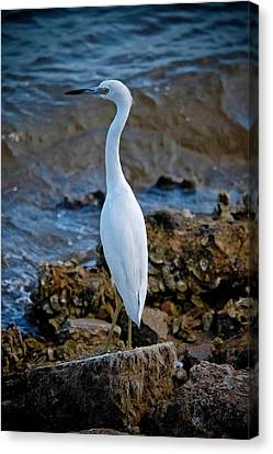 Eager Egret Canvas Print by DigiArt Diaries by Vicky B Fuller