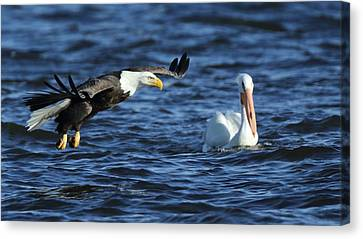Eagle And Pelican Canvas Print by Coby Cooper