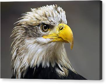 Eagle Canvas Print by Harry Spitz