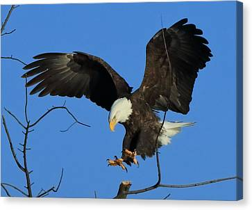 Eagle Landing Canvas Print by Coby Cooper
