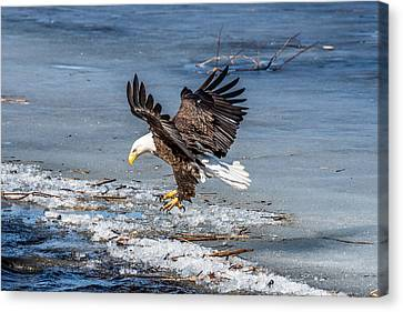 Eagle Landing Canvas Print by Paul Freidlund
