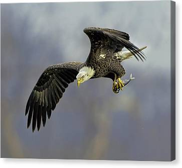 Eagle Power Dive Canvas Print by William Jobes