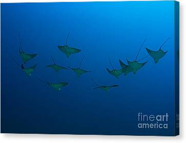 Eagle Rays In Ocean Canvas Print by Dave Fleetham - Printscapes