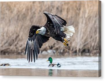 Eagle With Lunch Canvas Print by Paul Freidlund