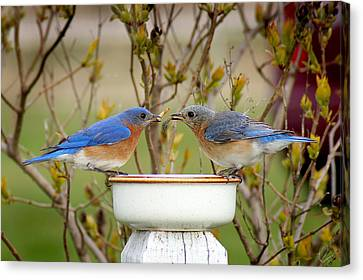 Early Bird Breakfast For Two Canvas Print by Bill Pevlor