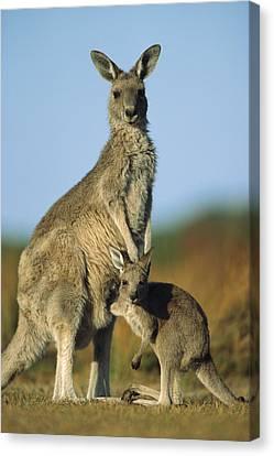 Eastern Grey Kangaroo And Her Joey Canvas Print by Ingo Arndt