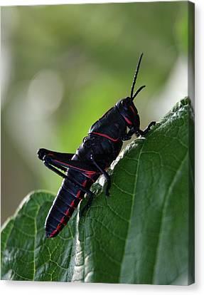 Eastern Lubber Grasshopper Canvas Print by Richard Rizzo