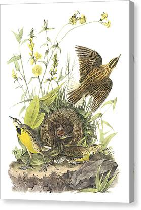 Eastern Meadowlark Canvas Print by John James Audubon