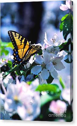 Eastern Tiger Swallowtail Canvas Print by Thomas R Fletcher