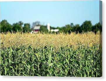 Edge Of Field Of Corn Canvas Print by Todd Klassy
