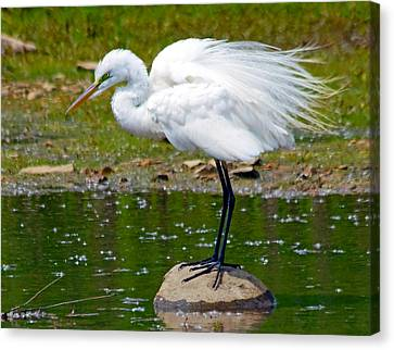 Egret In Mating Plumage Canvas Print by Kristine Quandee