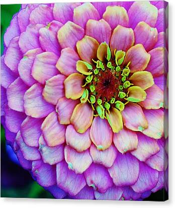 Electrifying Zinna Canvas Print by Bruce Bley