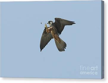 Eleonoras Falcon Canvas Print by Richard Brooks/FLPA