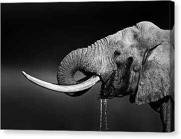 Elephant Bull Drinking Water Canvas Print by Johan Swanepoel