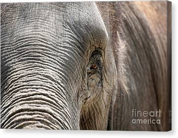 Elephant Eye Canvas Print by Jeannie Burleson
