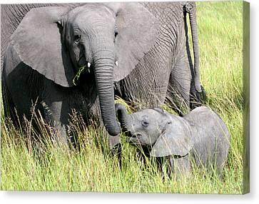 Elephants - Little Sister Canvas Print by Nancy D Hall