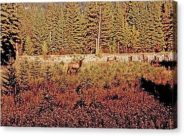 Elk Harem Canvas Print by Al Bourassa