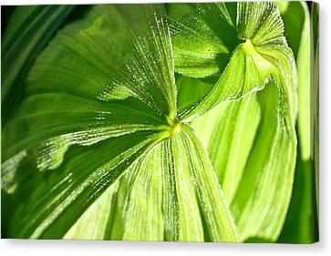 Emerging Plants Canvas Print by Douglas Barnett