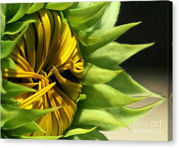 Emerging Sunflower Canvas Print by Sabrina L Ryan